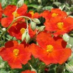 helianthemum firedragon